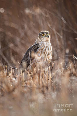 Photograph - Broad-winged Hawk by Ronald Lutz