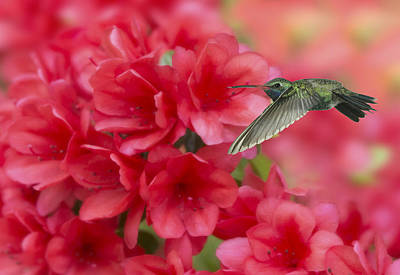 Photograph - Broadbill And Azalea by Gregory Scott