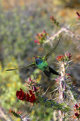 Photograph - Broadbill Hummingbird And Cholla Cactus by Gregory Scott