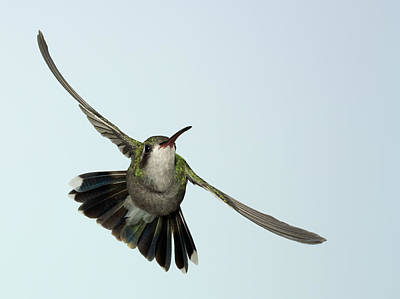 Photograph - Broadbill Hummingbird Diagonal by Gregory Scott