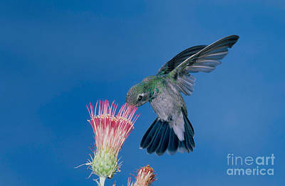 Broadbilled Hummingbirds Photograph - Broadbill Hummingbird Feeding At Flower by Anthony Mercieca