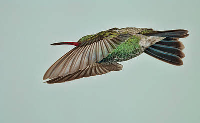 Avian Photograph - Broadbill Hummingbird Level Flight by Gregory Scott
