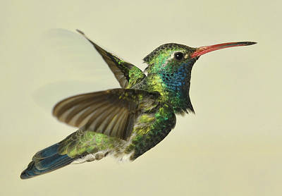 Photograph - Broadbill Hummingbird - Variant by Gregory Scott