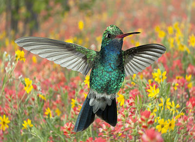 Broadbilled Hummingbirds Photograph - Broadbill With Paintbrush by Gregory Scott