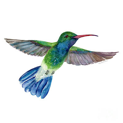 White Background Painting - Broadbilled Fan Tail Hummingbird by Amy Kirkpatrick