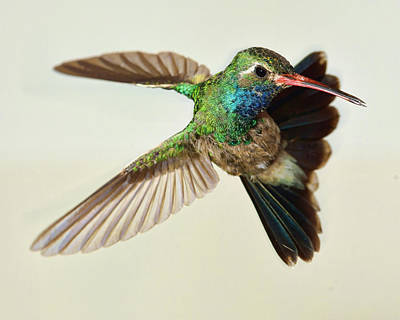 Broadbilled Hummingbirds Photograph - Broadbilled Hummingbird Hovering by Gregory Scott