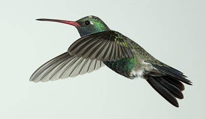 Photograph - Broadbilled Hummingbird Profile by Gregory Scott