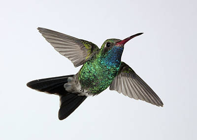 Photograph - Broadbilled Hummingbird Rising by Gregory Scott