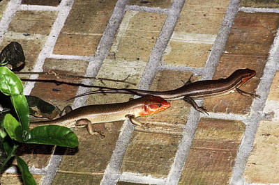 Photograph - Broadheaded Skink Pair by Millard H. Sharp