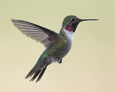 Photograph - Broadtail Hummingbird Male by John Brink