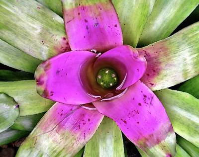 Neoregelia Photograph - Bromeliad by Allen Beatty