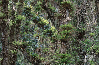 Bromeliads And Other Epiphytes Art Print by Art Wolfe