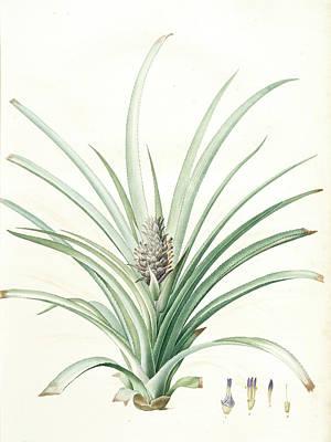 Pineapple Drawing - Bromella Ananas, Ananas Sativus Bromella Cultivé Pineapple by Artokoloro