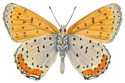 Horizontal Drawing - Bronze Copper Butterfly by Anonymous
