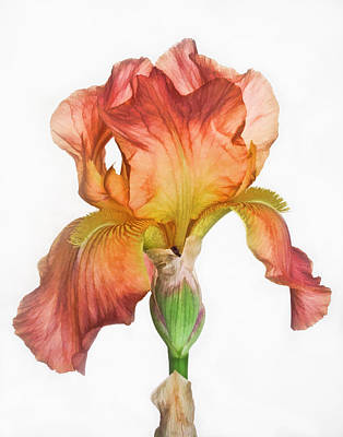 Photograph - Bronze Iris by David and Carol Kelly