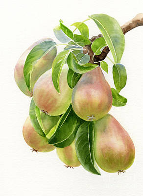 Pear Watercolor Painting - Bronze Pears With White Background by Sharon Freeman