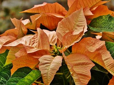 Photograph - Bronze Poinsettia 2 by VLee Watson