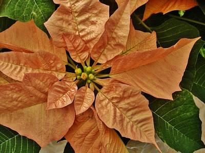 Photograph - Bronze Poinsettia 3 by VLee Watson