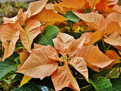 Photograph - Bronze Poinsettia 4 by VLee Watson