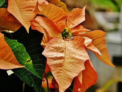 Photograph - Bronze Poinsettia 5 by VLee Watson