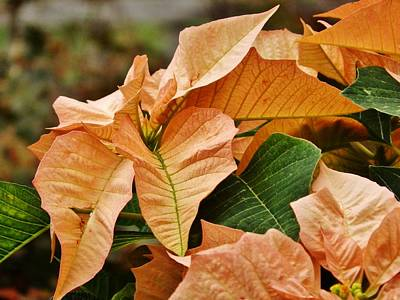 Photograph - Bronze Poinsettia by VLee Watson