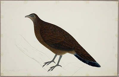 Pheasant Photograph - Bronze-tailed Peacock Pheasant by British Library