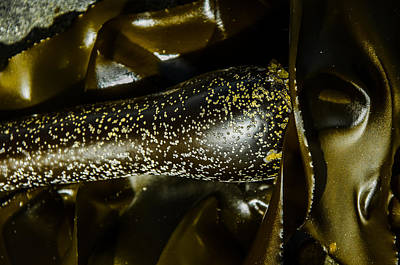 Photograph - Bronzed Bull Kelp 4 by Roxy Hurtubise