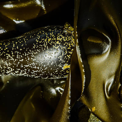 Photograph - Bronzed Bull Kelp 5 by Roxy Hurtubise