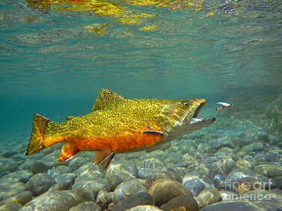 Brook Trout Image Painting - Brook Trout And Coachman Wet Fly by Paul Buggia