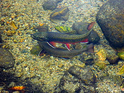 Mark Wagner Wall Art - Photograph - Brookie Trout Nesting by Mark Wagner