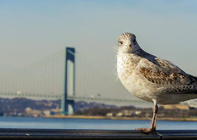 Coney Island Photograph - Brooklyn Seagull by Jon Woodhams