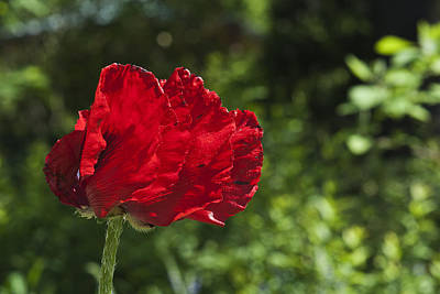 Photograph - Brookside Poppy by Lisa Missenda
