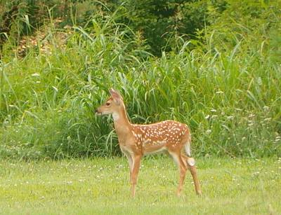 Photograph - Broter Fawn by Shirley Moravec