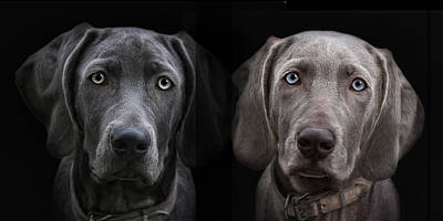 Weimaraner Photograph - Brother And Sister by Joachim G Pinkawa