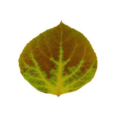 Digital Art - Brown And Green Aspen Leaf 4 by Agustin Goba