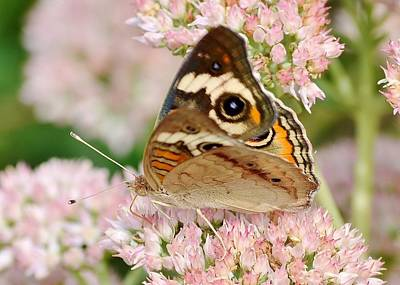 Photograph - Brown And Pink - Butterfly by Kim Bemis