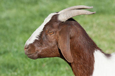 Goat Photograph - Brown And White Domestic Goat by Piperanne Worcester