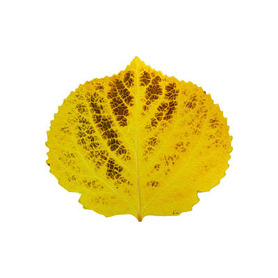 Digital Art - Brown And Yellow Aspen Leaf 3 by Agustin Goba