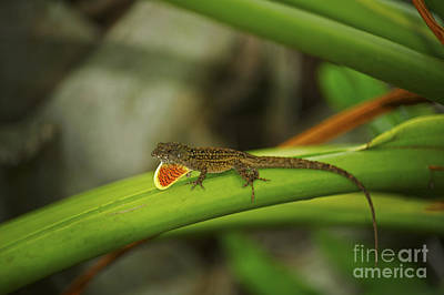 Brown Anole Photograph - Brown Anole by Elaine Mikkelstrup