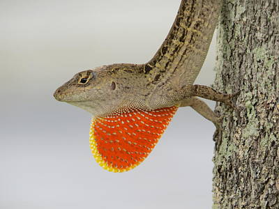 Brown Anole Photograph - Brown Anole II by Zina Stromberg