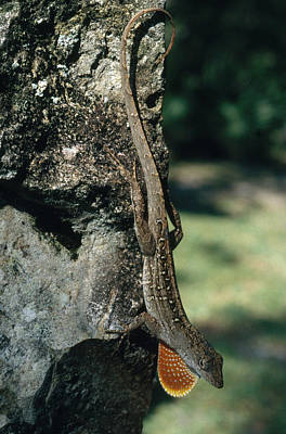 Brown Anole Photograph - Brown Anole by Richard L. Carlton
