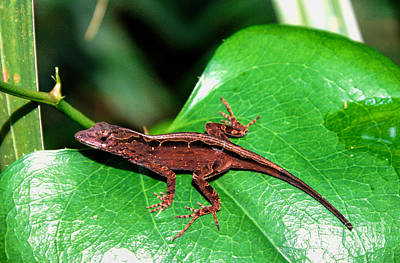 Photograph - Brown Anole by Richard Lynch
