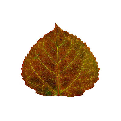 Digital Art - Brown Aspen Leaf 2 by Agustin Goba