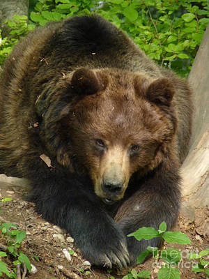 Photograph - Brown Bear - Alert by Phil Banks