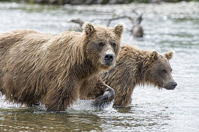 Photograph - Brown Bear And Cub Coming Upstream by Dan Friend