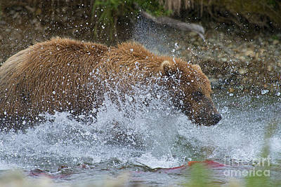 Photograph - Brown Bear Attempting Get Salmon by Dan Friend