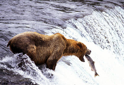 Brown Bear Catching Salmon Art Print by Mark Newman