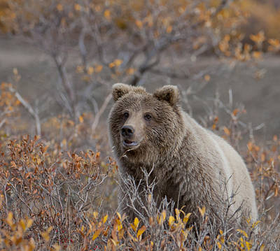 Standing Bear Photograph - Brown Bear by Cathy Hart
