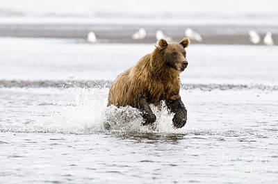 Photograph - Brown Bear Chasing Salmon by William H. Mullins