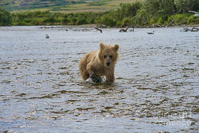 Photograph - Brown Bear Cub Following Mother Brown Bear by Dan Friend